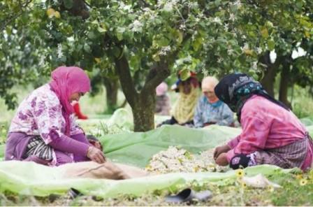 Autonomisation économique et sociale des femmes cueilleuses de fleurs d'orangers